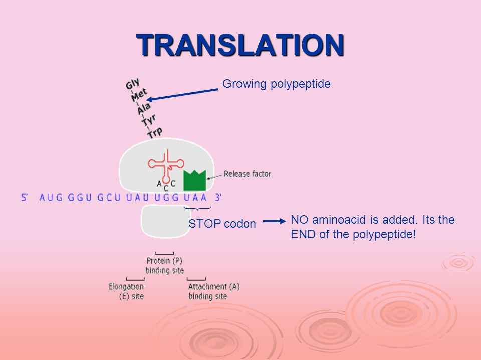 TRANSLATION Growing polypeptide