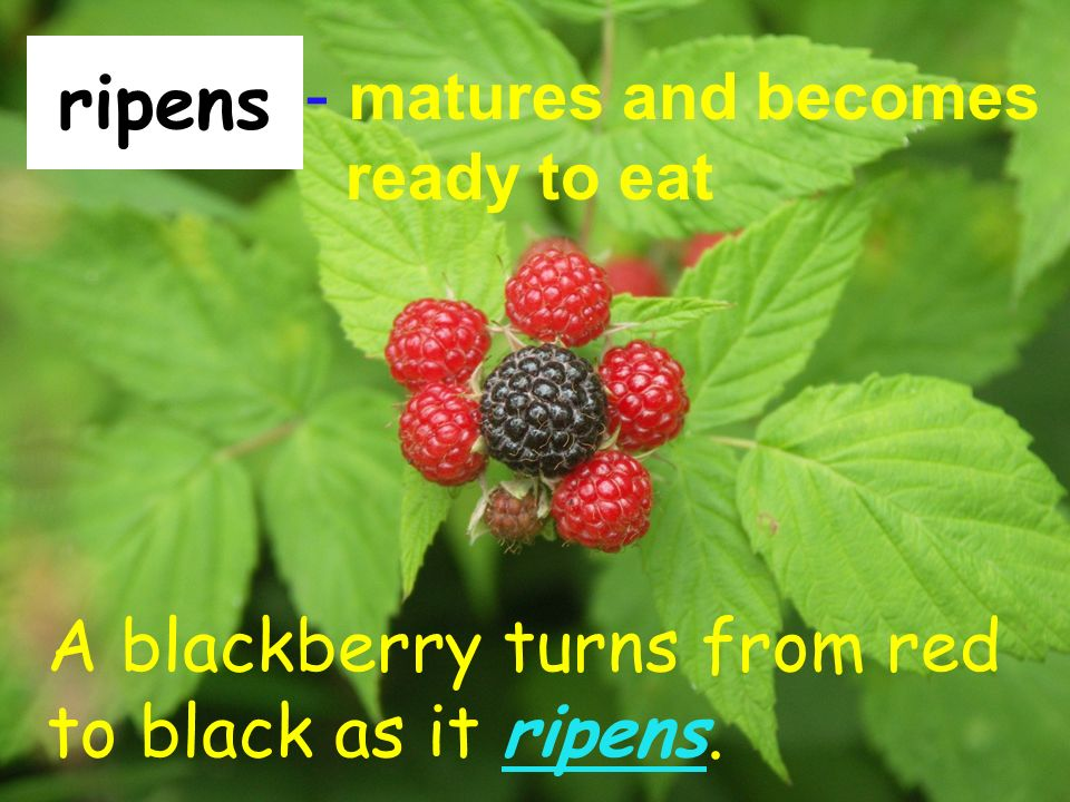 ripens - matures and becomes ready to eat