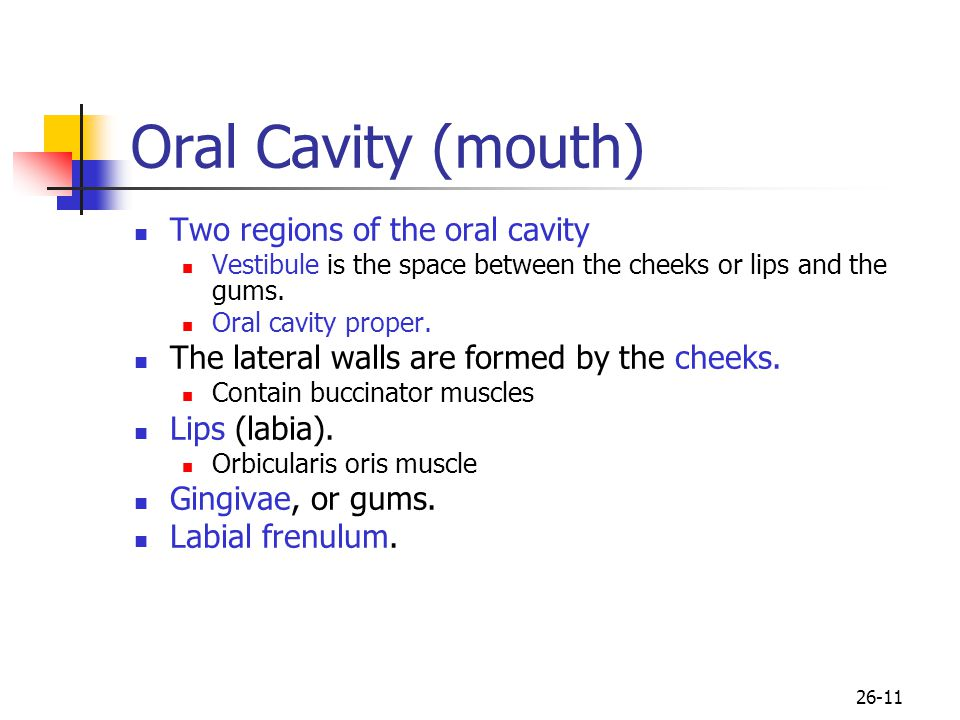 Oral Cavity (mouth) Two regions of the oral cavity