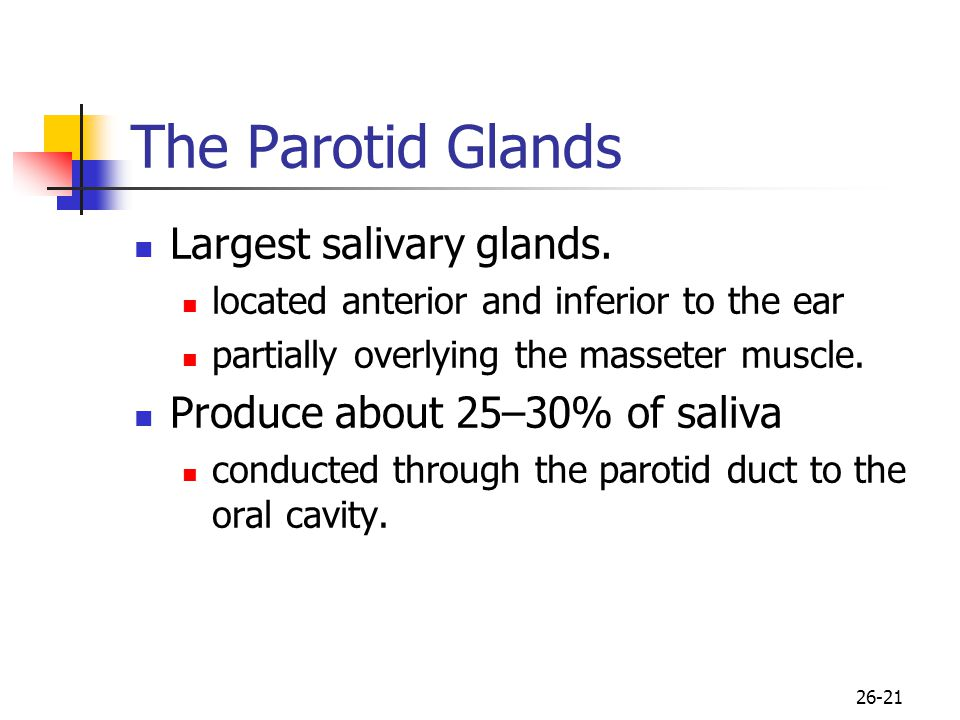 The Parotid Glands Largest salivary glands.