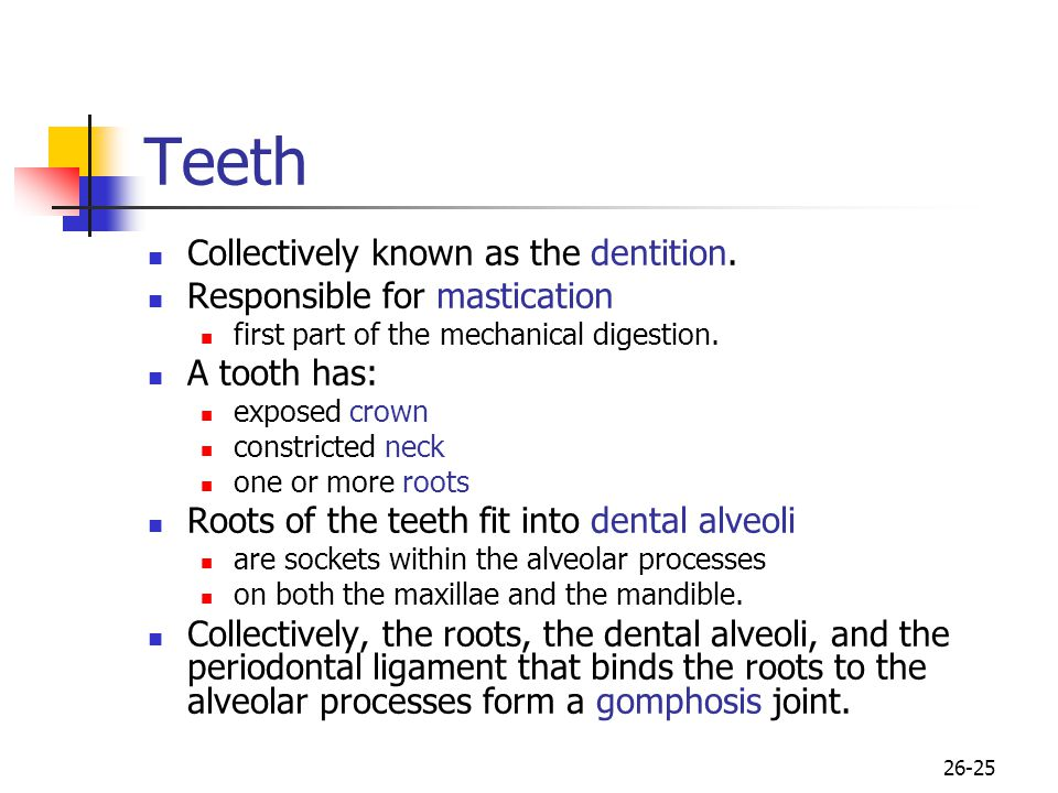 Teeth Collectively known as the dentition. Responsible for mastication