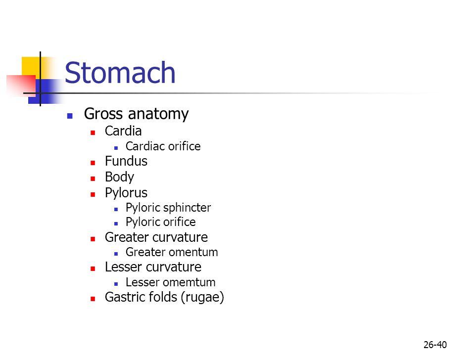 Stomach Gross anatomy Cardia Fundus Body Pylorus Greater curvature