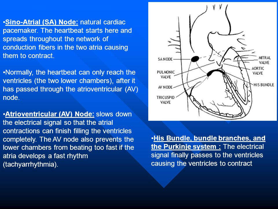 Sino-Atrial (SA) Node: natural cardiac pacemaker