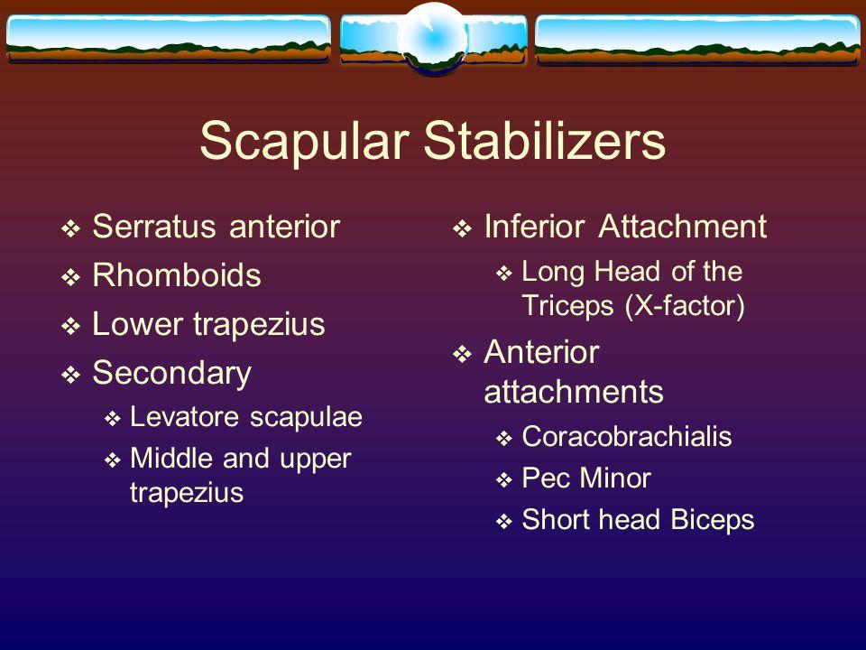Scapular Stabilizers Serratus anterior Rhomboids Lower trapezius