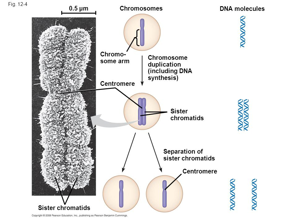 0.5 µm Chromosomes DNA molecules Chromo- some arm Chromosome