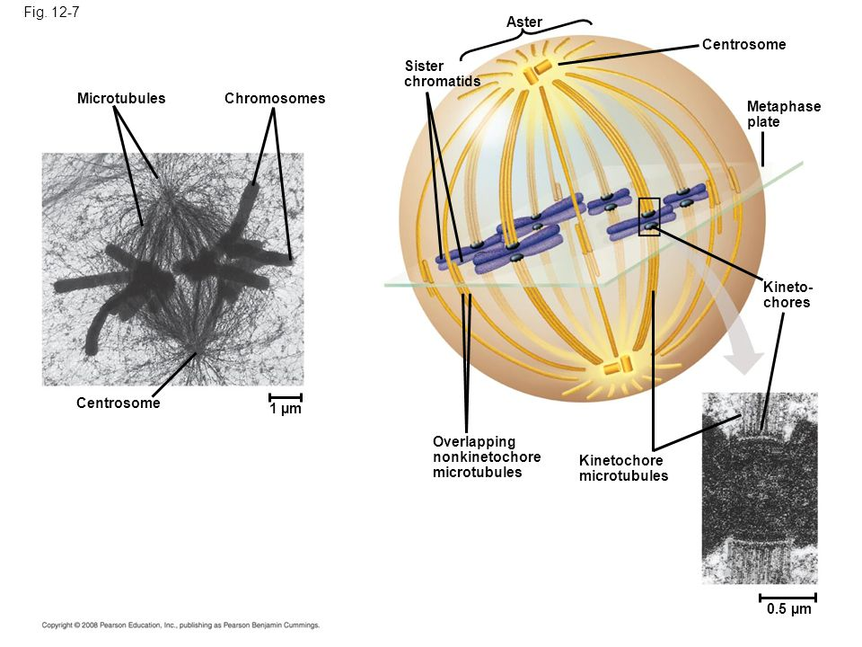 Fig. 12-7 Aster. Centrosome. Sister. chromatids. Microtubules. Chromosomes. Metaphase. plate.