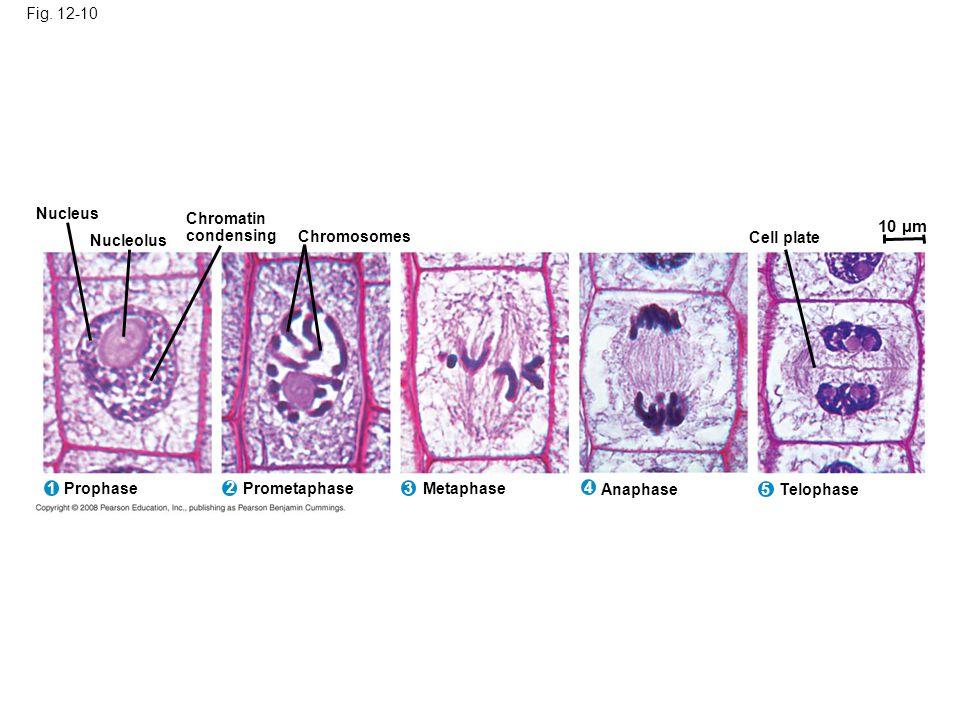 10 µm Fig. 12-10 Nucleus Chromatin condensing Nucleolus Chromosomes