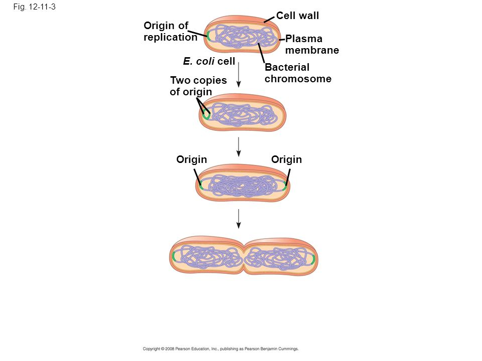 Cell wall Origin of replication Plasma membrane E. coli cell Bacterial
