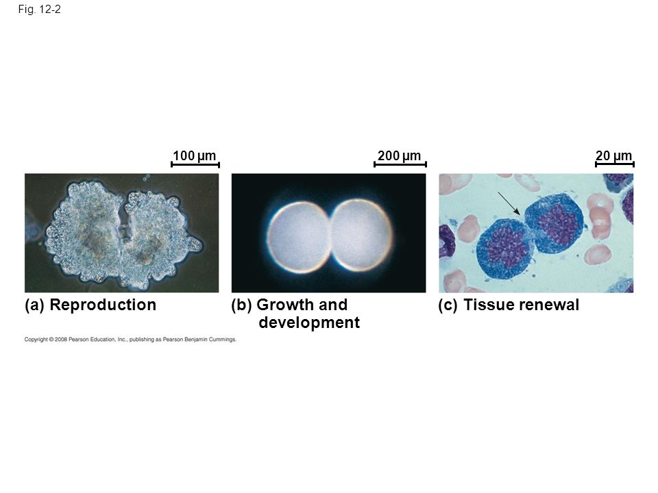 (a) Reproduction (b) Growth and development (c) Tissue renewal 100 µm