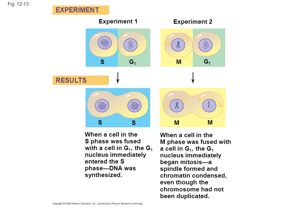 EXPERIMENT RESULTS Experiment 1 Experiment 2 S G1 M G1 S S M M