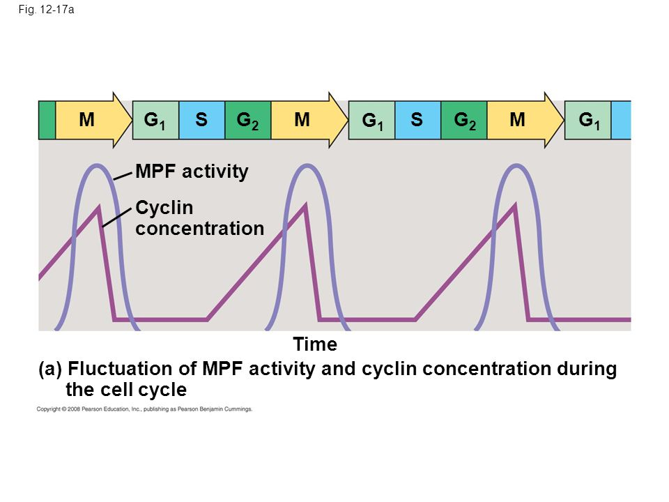 (a) Fluctuation of MPF activity and cyclin concentration during