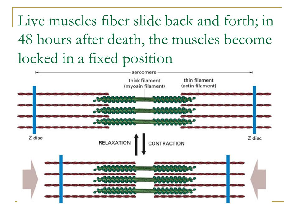 Live muscles fiber slide back and forth; in 48 hours after death, the muscles become locked in a fixed position