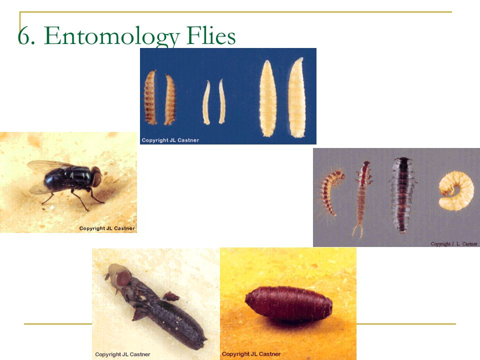 6. Entomology Flies