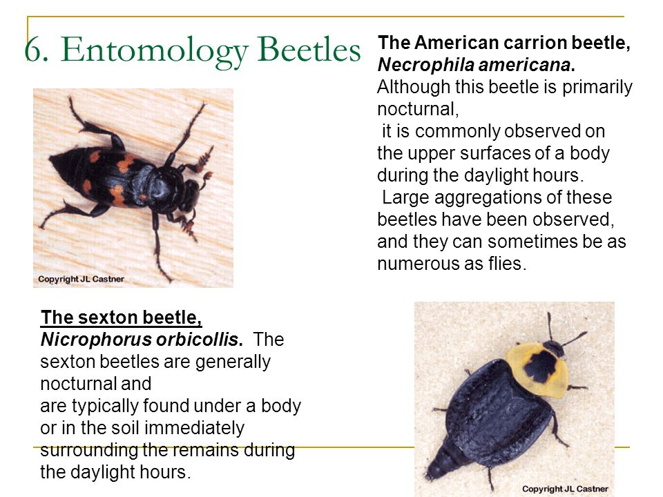 6. Entomology Beetles The American carrion beetle, Necrophila americana. Although this beetle is primarily nocturnal,