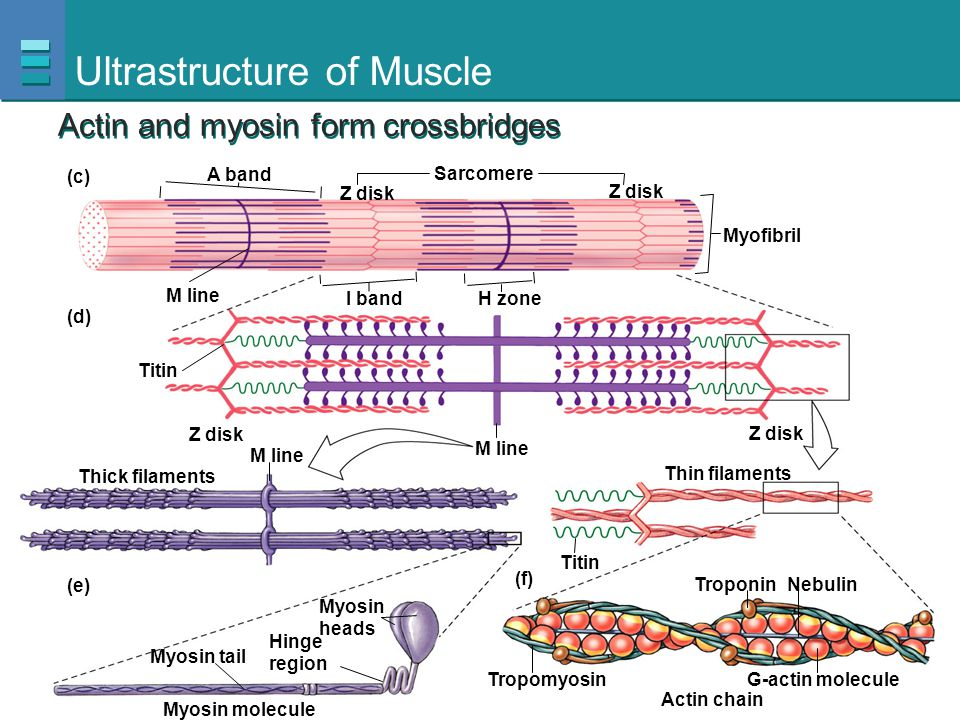 Ultrastructure of Muscle