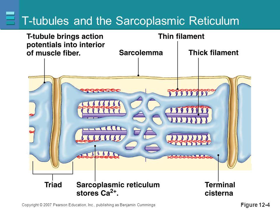 T-tubules and the Sarcoplasmic Reticulum
