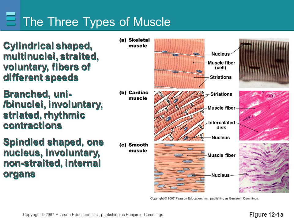 The Three Types of Muscle