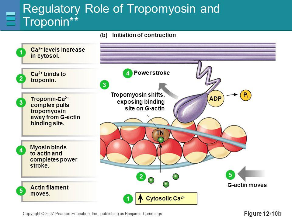 Regulatory Role of Tropomyosin and Troponin**
