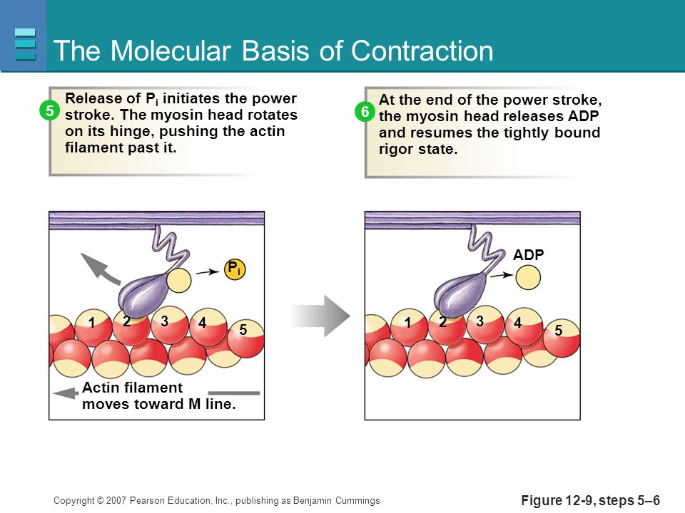 The Molecular Basis of Contraction