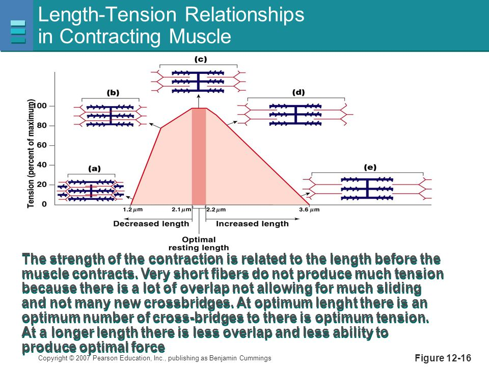 Length-Tension Relationships in Contracting Muscle