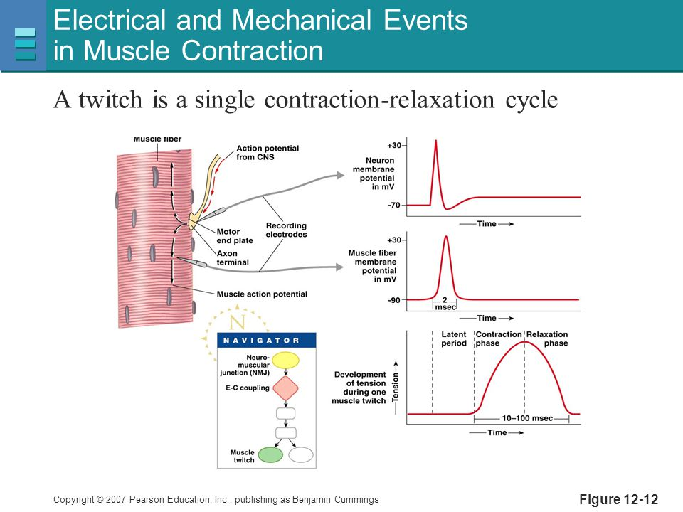 Electrical and Mechanical Events in Muscle Contraction