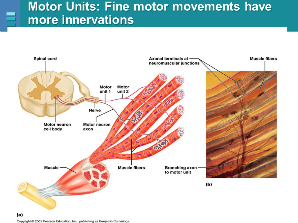 Motor Units: Fine motor movements have more innervations