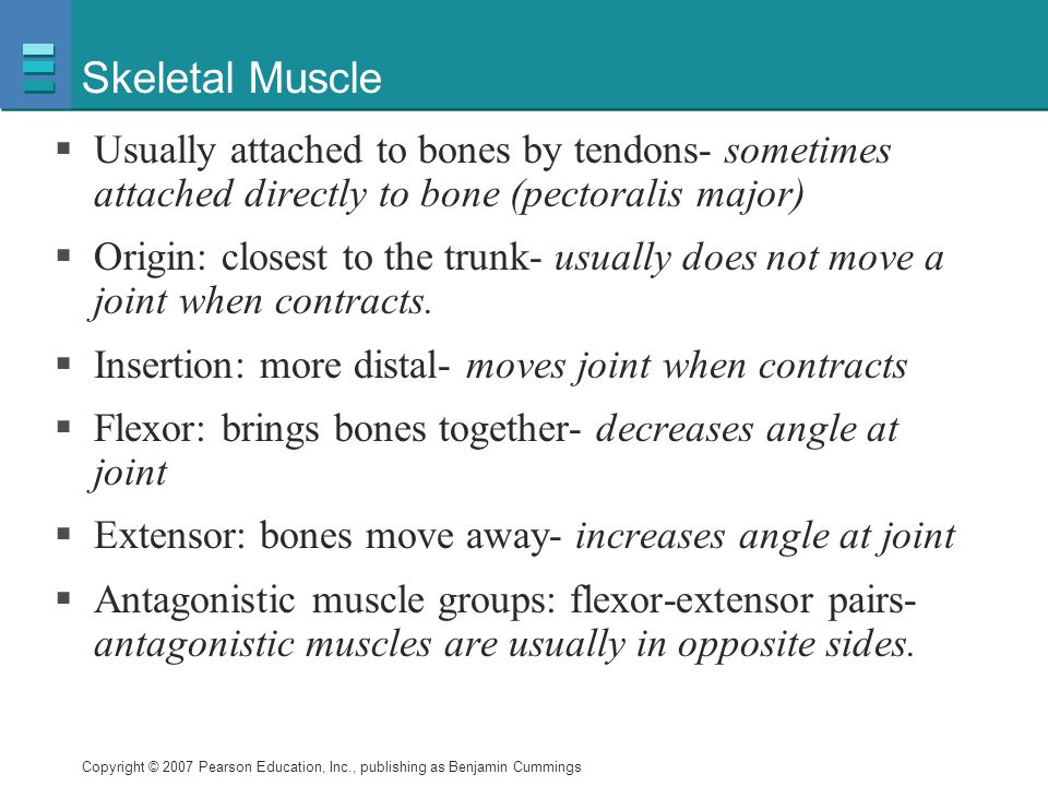 Skeletal Muscle Usually attached to bones by tendons- sometimes attached directly to bone (pectoralis major)