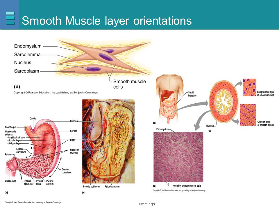 Smooth Muscle layer orientations