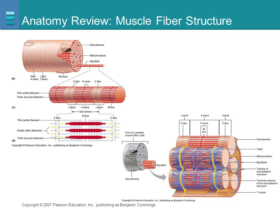 Anatomy Review: Muscle Fiber Structure