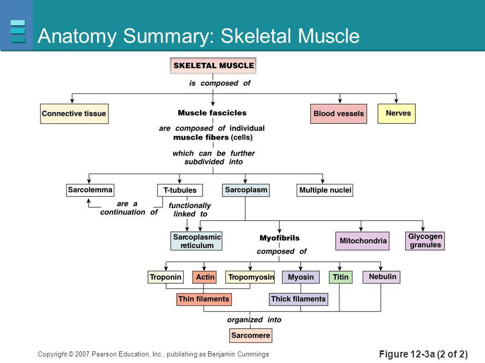 Anatomy Summary: Skeletal Muscle