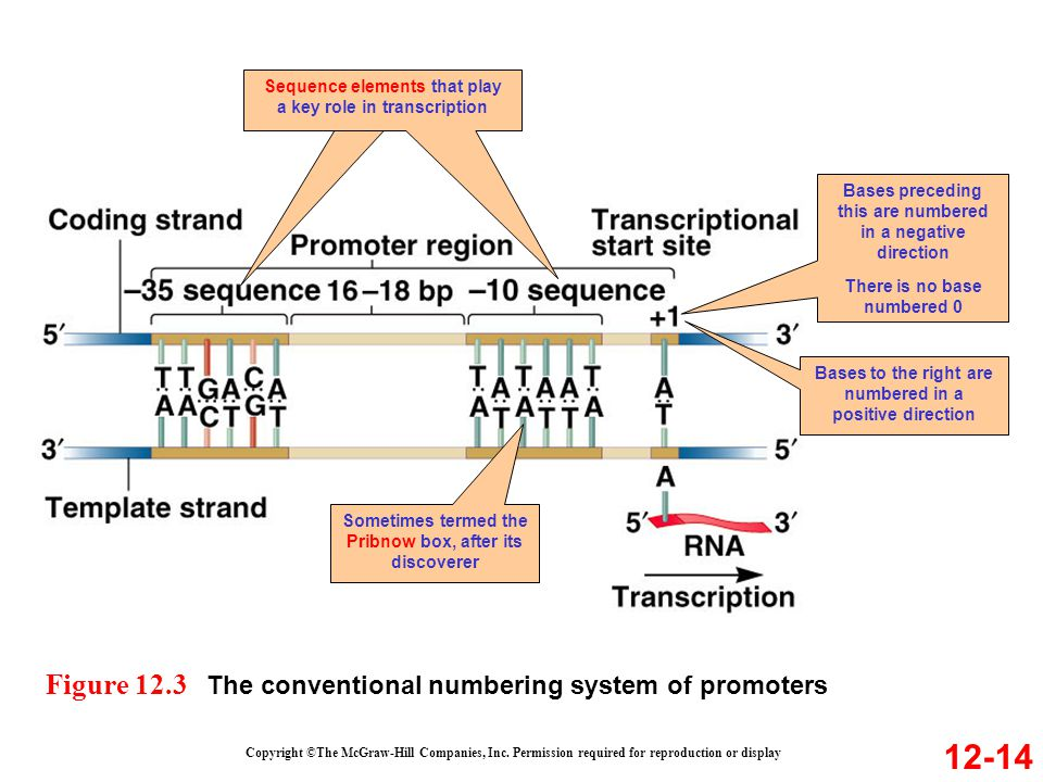 Sequence elements that play a key role in transcription