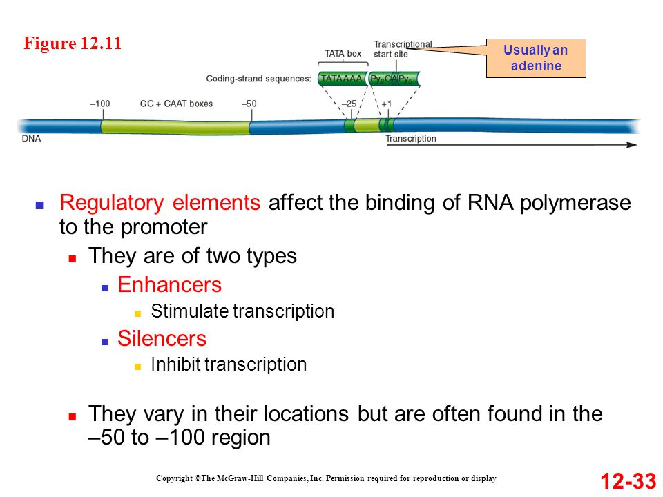 Figure 12.11 Usually an adenine. Regulatory elements affect the binding of RNA polymerase to the promoter.