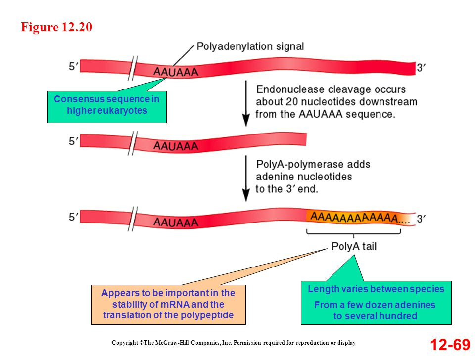 12-69 Figure 12.20 Consensus sequence in higher eukaryotes