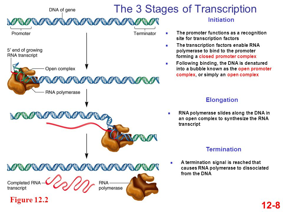 The 3 Stages of Transcription