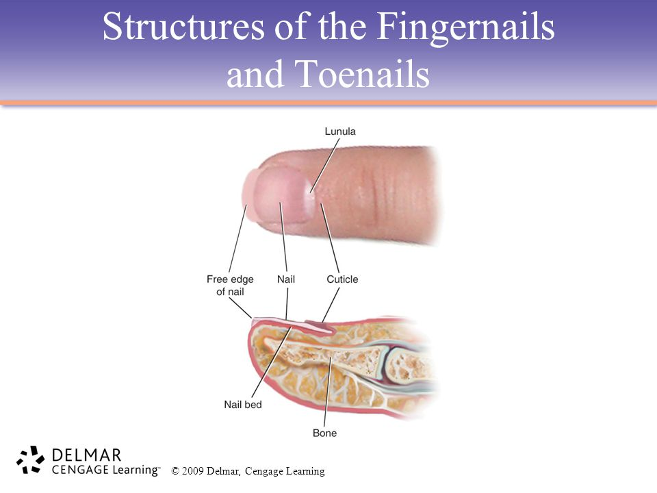 Structures of the Fingernails and Toenails