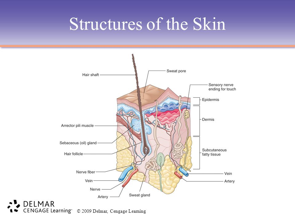 Structures of the Skin
