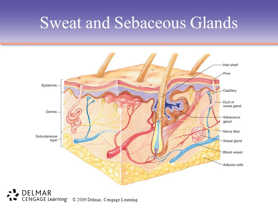 Sweat and Sebaceous Glands