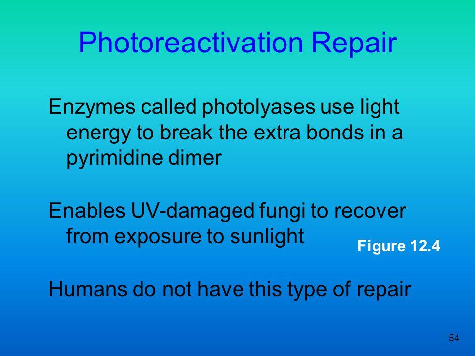 Photoreactivation Repair