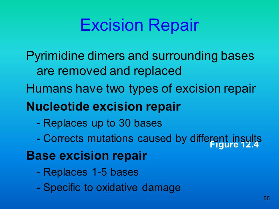 Excision Repair Pyrimidine dimers and surrounding bases are removed and replaced. Humans have two types of excision repair.