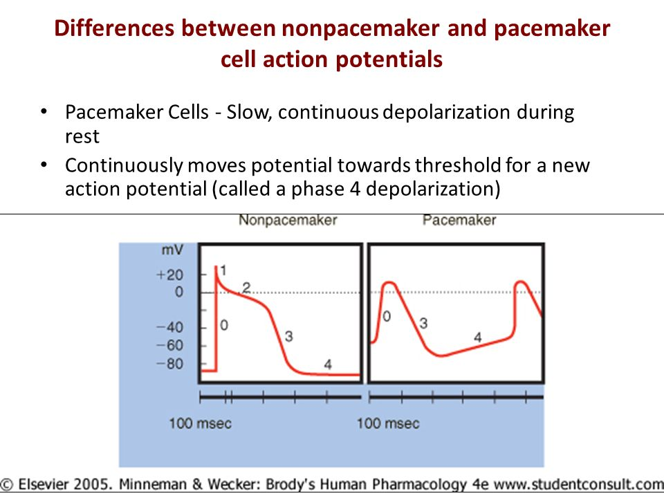 Differences between nonpacemaker and pacemaker cell action potentials