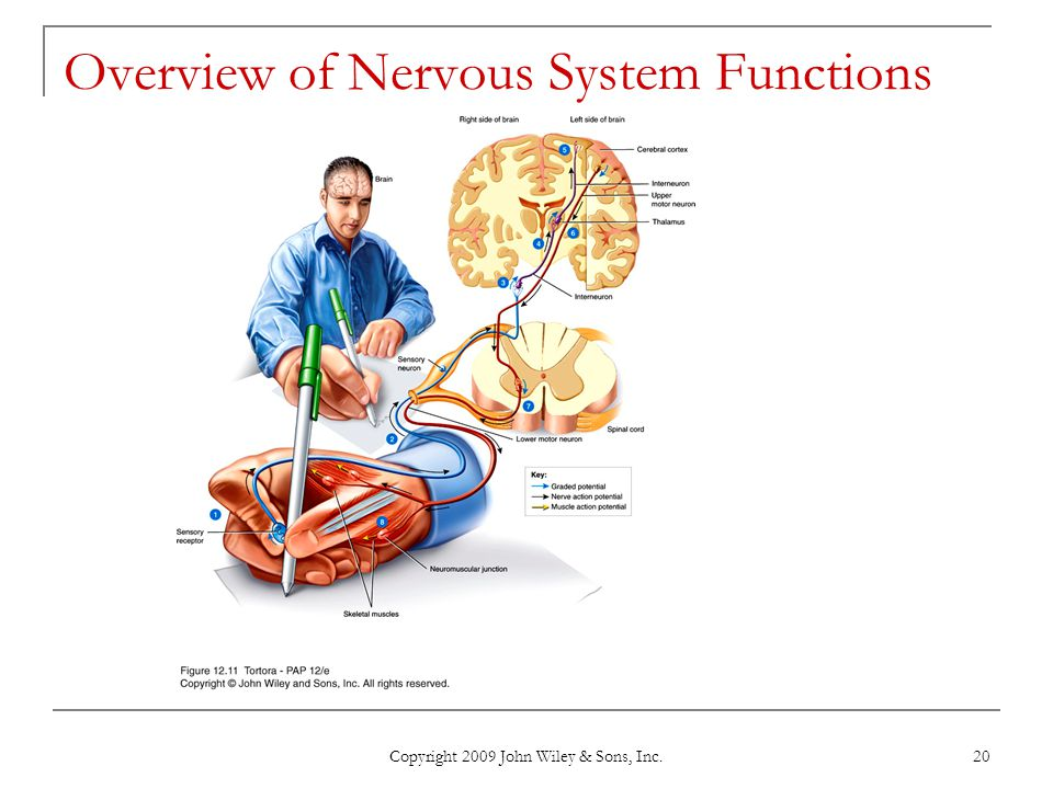 Overview of Nervous System Functions