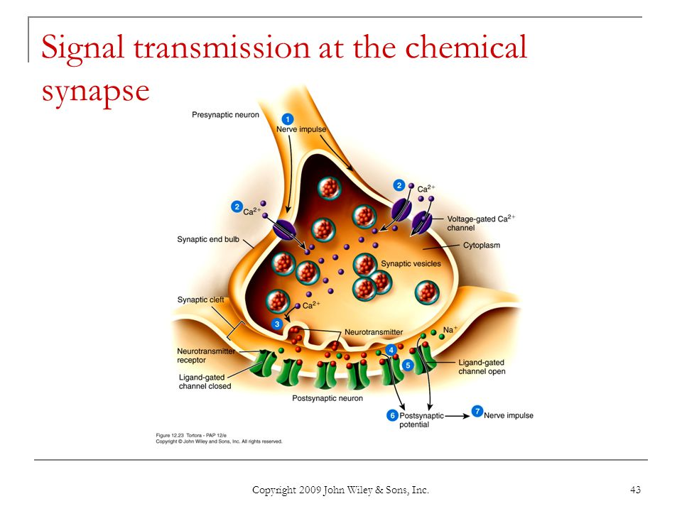 Signal transmission at the chemical synapse