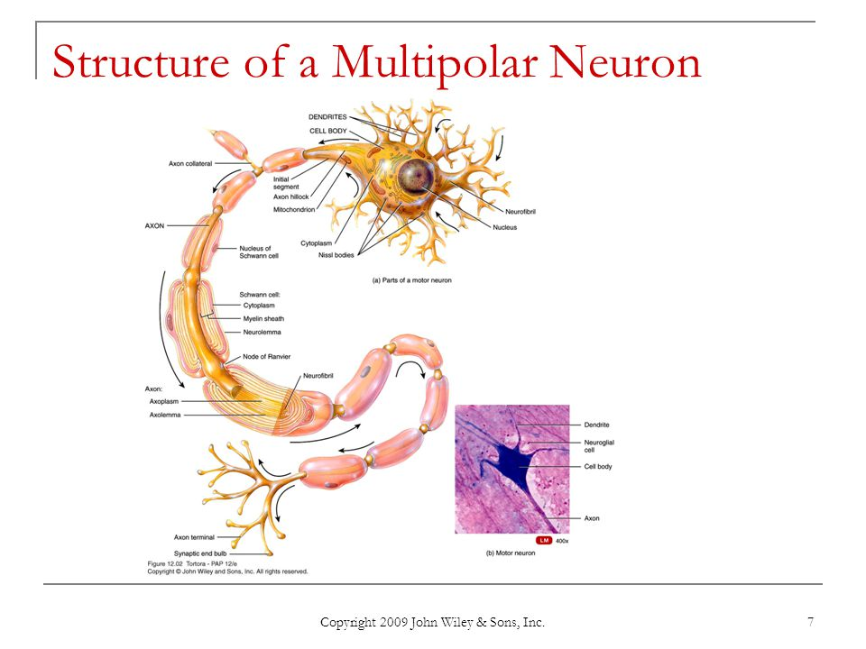 Structure of a Multipolar Neuron