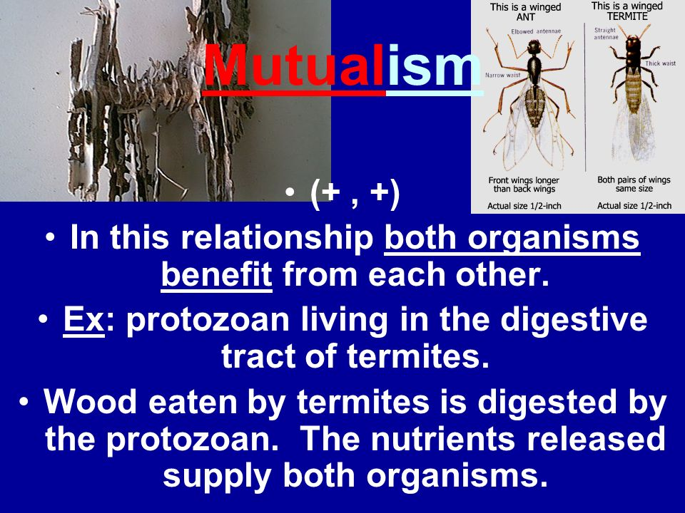 Mutualism(+ , +) In this relationship both organisms benefit from each other. Ex: protozoan living in the digestive tract of termites.