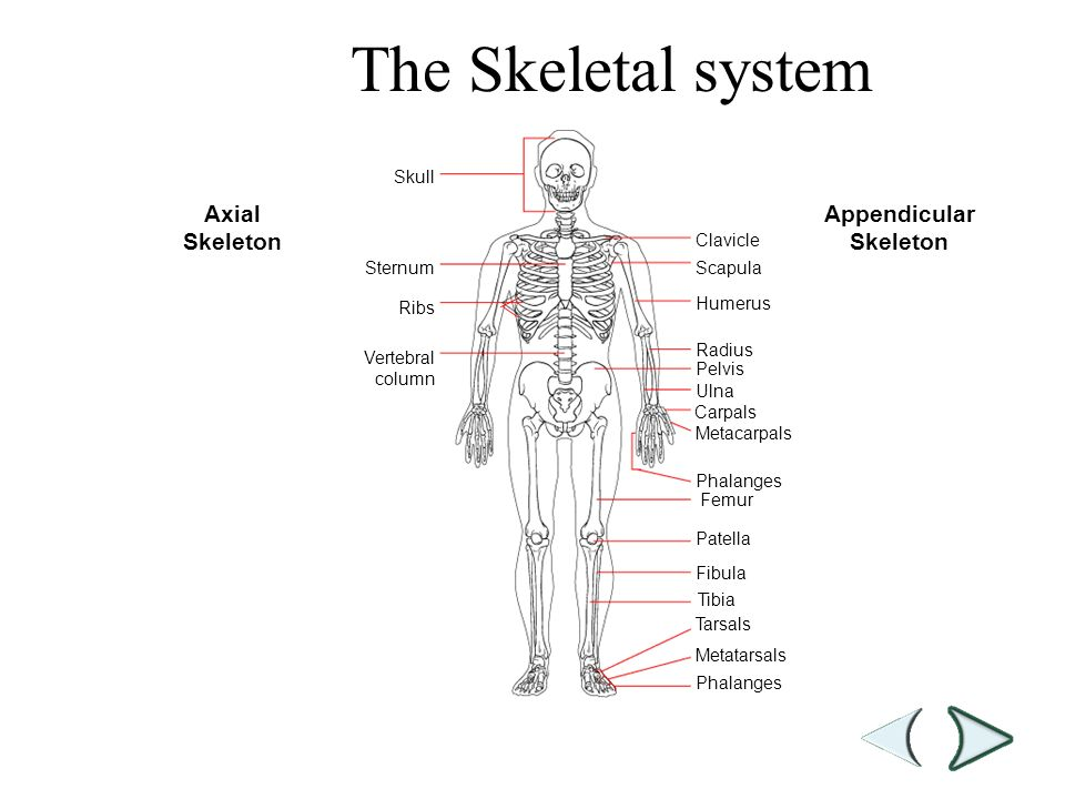 The appendicular skeleton Research paper Academic Writing Service ...