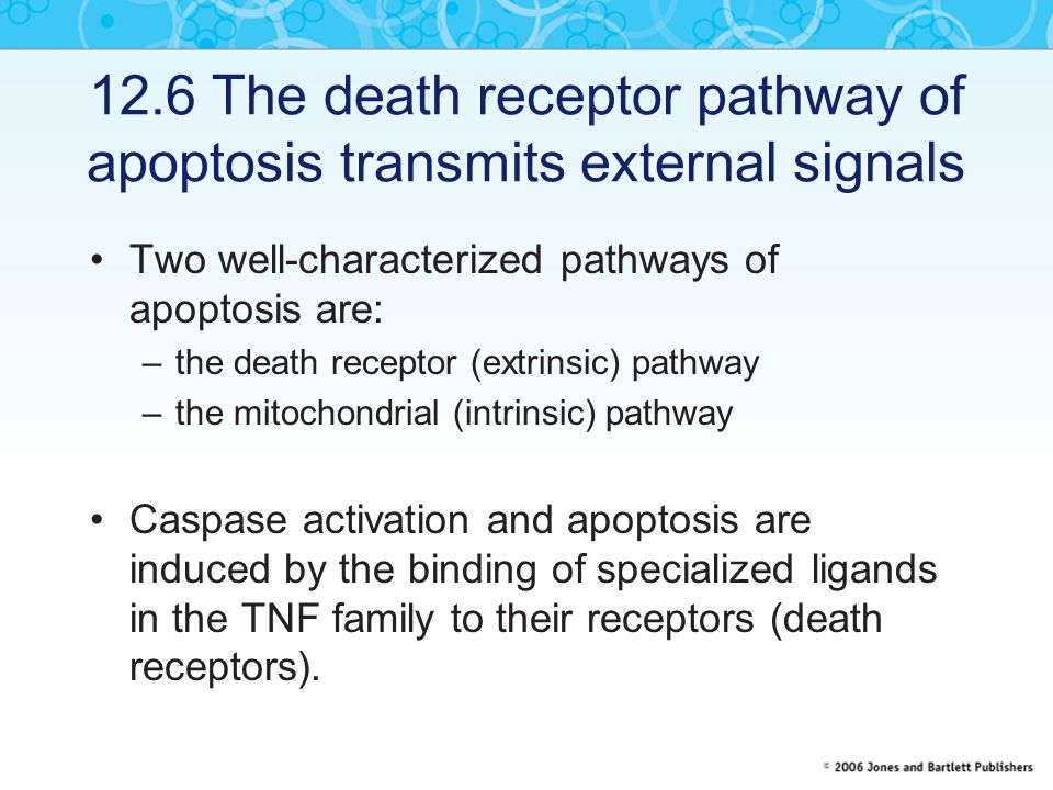 12.6 The death receptor pathway of apoptosis transmits external signals