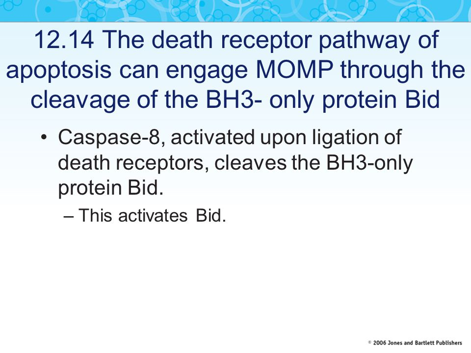 12.14 The death receptor pathway of apoptosis can engage MOMP through the cleavage of the BH3- only protein Bid