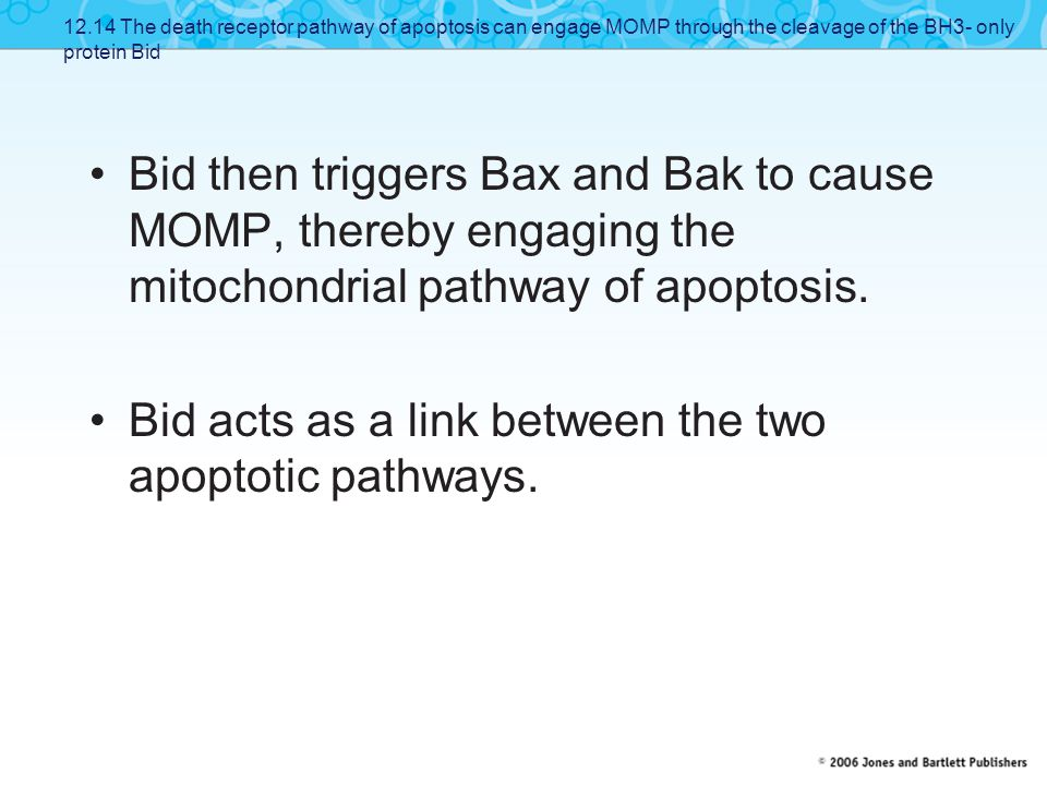 Bid acts as a link between the two apoptotic pathways.