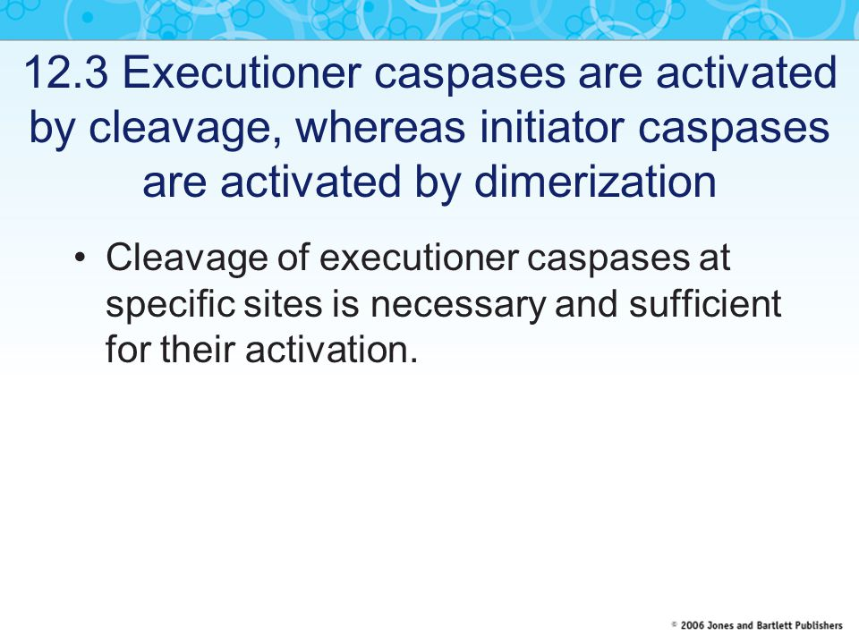 12.3 Executioner caspases are activated by cleavage, whereas initiator caspases are activated by dimerization