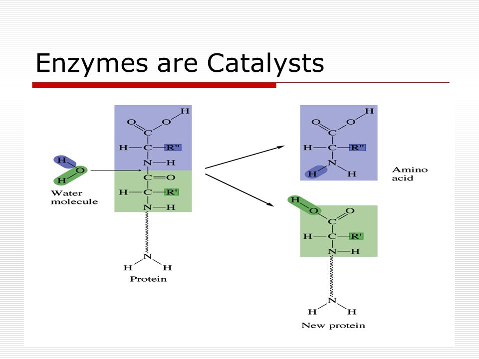 Enzymes are Catalysts